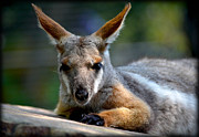 Small Animals Posters - Wallaroo 2 Poster by Amanda Vouglas
