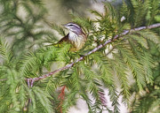 Warbler Photos - Warbler In The Cypress by Deborah Benoit