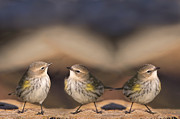 Little Birds Prints - Warbler Times Three Print by Bonnie Barry