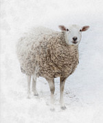Sheep Photos - Warm and Fuzzy by Robin-lee Vieira