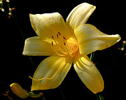 Daylily Photos - Warm Glow by Rona Black