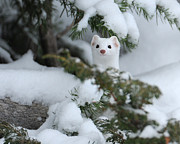 Amy Gerber - Warm Springs Ermine
