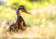 Grass Prints - Warm Summer Morning And A Duck Print by Bob Orsillo