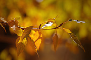 Backlit Prints - Warmth of the Autumn Sun Print by Sharon  Talson