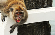 Jenny Rainbow - Warning. Crab Eating Macaque