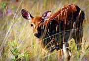 White-tail Deer Prints - Wary Print by Heather Applegate