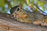Allen Sheffield - Wary Squirrel
