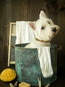 Westie Puppy Prints - Wash Day Print by Edward Fielding