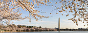 Beauty Art - Washington DC Cherry Blossoms and Washington Monument by Oscar Gutierrez