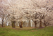 Washington Dc Cherry Blossoms Print by Kim Hojnacki