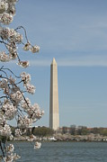 Blossom Framed Prints - Washington Monument - Cherry Blossoms - Washington DC - 011315 Framed Print by DC Photographer