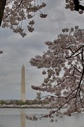 Attraction Framed Prints - Washington Monument - Cherry Blossoms - Washington DC - 011319 Framed Print by DC Photographer