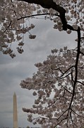 Outside Photo Framed Prints - Washington Monument - Cherry Blossoms - Washington DC - 011321 Framed Print by DC Photographer