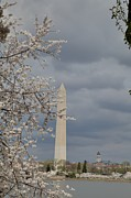 Holiday Photo Framed Prints - Washington Monument - Cherry Blossoms - Washington DC - 011324 Framed Print by DC Photographer