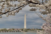 Patriotic Photo Prints - Washington Monument - Cherry Blossoms - Washington DC - 011325 Print by DC Photographer