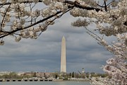 Flowering Posters - Washington Monument - Cherry Blossoms - Washington DC - 011326 Poster by DC Photographer