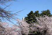 Blossoms Posters - Washington Monument - Cherry Blossoms - Washington DC - 01133 Poster by DC Photographer