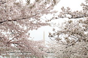 Outside Prints - Washington Monument - Cherry Blossoms - Washington DC - 011343 Print by DC Photographer