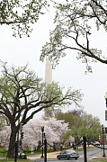 Blooming Art - Washington Monument - Cherry Blossoms - Washington DC - 011346 by DC Photographer