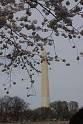 Blossom Metal Prints - Washington Monument - Cherry Blossoms - Washington DC - 01139 Metal Print by DC Photographer