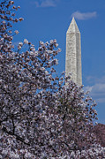 Cherry Blossoms Posters - Washington Monument Poster by Susan Candelario