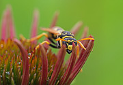 Animal Pics Posters - Wasp  Poster by Juergen Roth