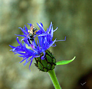 Bruce Carpenter - Wasp on blue flower