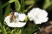 Robert E Alter Reflections of Infinity - Wasp on Dianthus Floral...