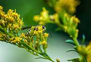 Goldenrod Flower Framed Prints - Wasp Framed Print by Steve Harrington