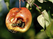 Joyce Sherwin - Wasps on Apple