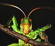 Katydid Prints - Wassup Print by Richard Mason