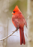 Male Northern Cardinal Photo Framed Prints - Watcher Framed Print by Kimberly Chason