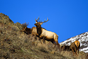 Elk Posters - Watchful Bull Poster by Mike  Dawson