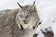 Wild Cat Poster Posters - Watchful Canadian Lynx Poster by Inspired Nature Photography By Shelley Myke