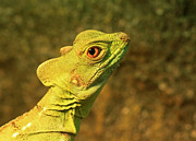 Watchful Eye Of The Green Basilisk Lizard  Print by Inspired Nature Photography By Shelley Myke