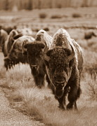 Bison Art - Watchful Eyes by Bill Keiran