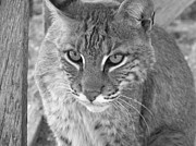 Bobcats Photo Prints - Watchful Eyes Black and White Print by Jennifer  King