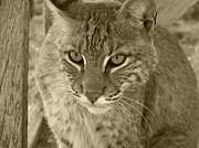 Bobcats Photo Prints - Watchful Eyes-Sepia Print by Jennifer  King