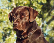 Chocolate Lab Photos - Watchful Eyes by Terril Heilman
