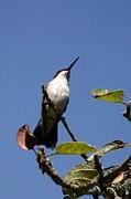Watchful Female Hummingbird  Print by Eunice Miller