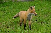 Sandra Updyke - Watchful Fox pup