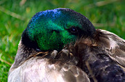 Mallards Photos - Watchful Mallard by Camille Lopez