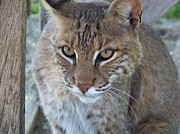 Bobcats Framed Prints - Watchfull Eyes Framed Print by Jennifer  King