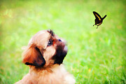 Shihtzu Prints - Watching Butterflies Print by Darren Fisher
