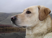 Attentive Labrador Dog Photos - Watching for Ducks by Jean Noren