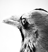 Crows Prints - Watching The Night Print by Jerry Cordeiro
