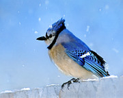 Bluejay Metal Prints - Watching the Snow Metal Print by Betty LaRue