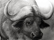 Longhorn Drawings Posters - Water Buffalo Poster by Rick Moore