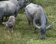 Gerry Gantt - Water Buffalos and Calf...