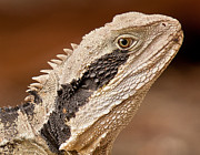 Australian Wildlife Prints - Water Dragon close up Print by Michael  Nau